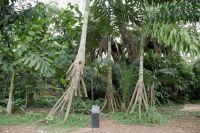 Palmeira Paxiúba